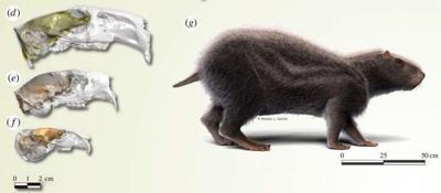 Roedor extinto tenía el tamaño de un humano