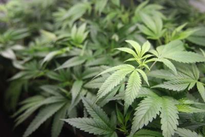 Brasil incauta 28 toneladas de marihuana