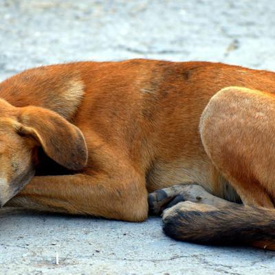 Carnicero abandona negocio de carne de perro en Camboya