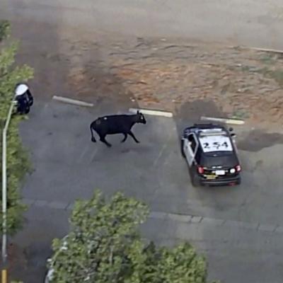 Nuevamente escapa un rebaño de vacas en Estados Unidos