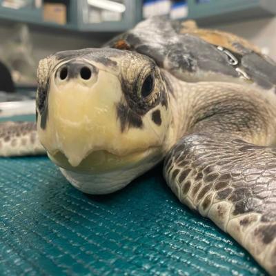 Liberarán a 7 tortugas marinas que fueron rescatadas en Estados Unidos