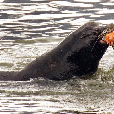 EEUU permite matar leones marinos que se alimentan de salmón