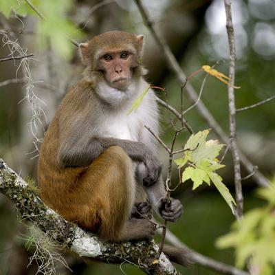 Monos roban muestras de sangre de posibles contagios de Covid-19