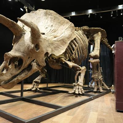 Subastan el mayor esqueleto de un triceratops en París
