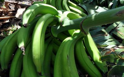 Se tumban 40 racimos de plátanos de finca en Yabucoa