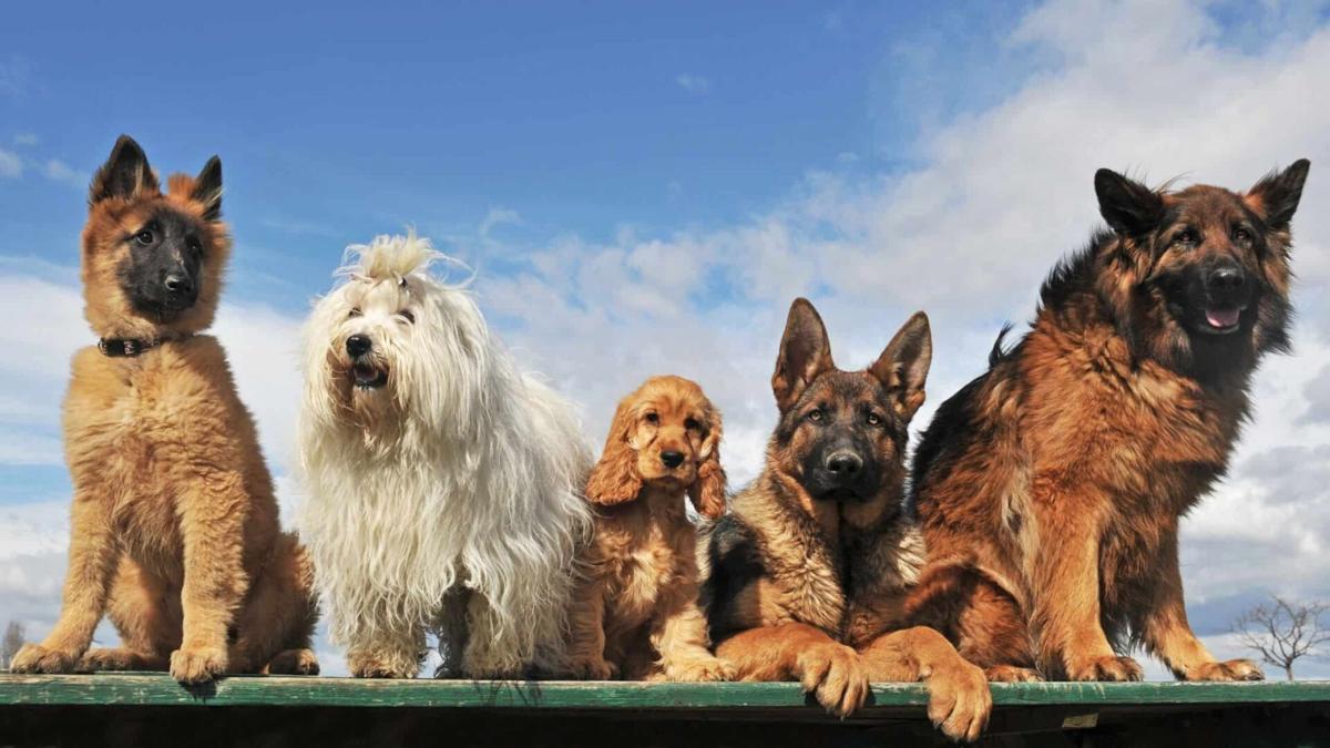 Mascotas, perros