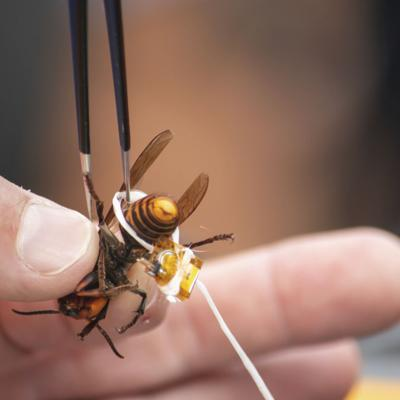 Destruyen el primer nido de avispones asesinos