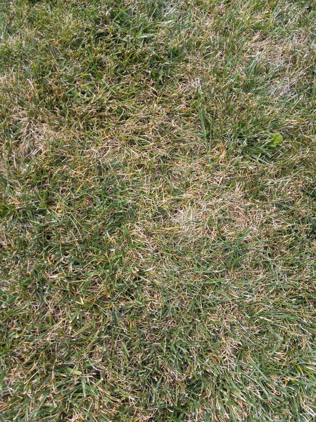 yard armyworms