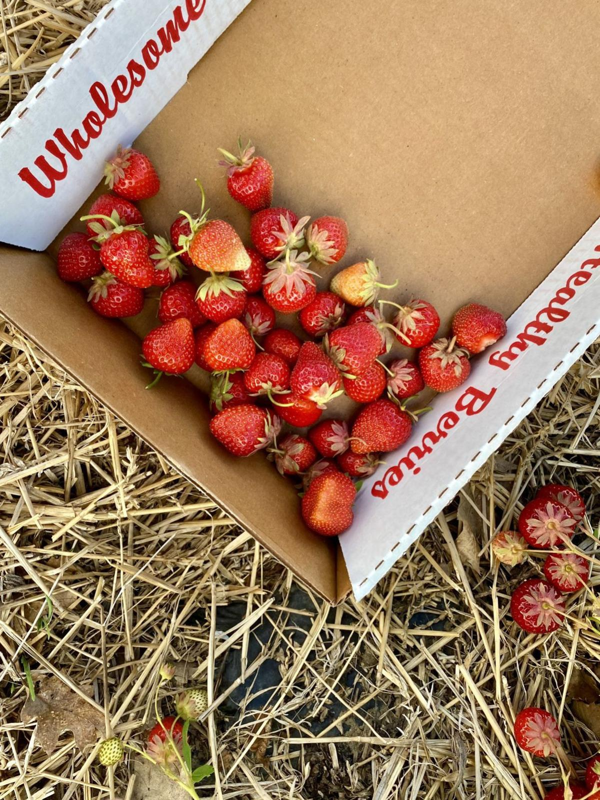 Pick-your-own strawberries