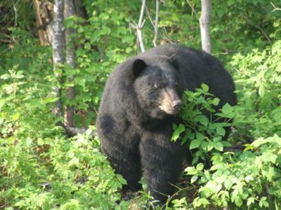 Black beark