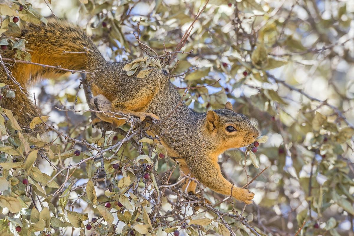 Fox squirrel Waterton