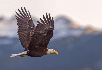 Bald eagle flying in front of Longs Peak.