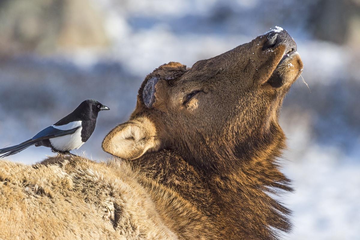 Elk_Magpie_RMNP