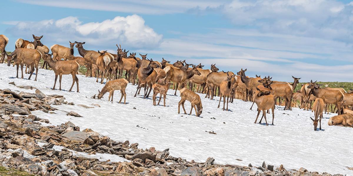 Elk on Tundra