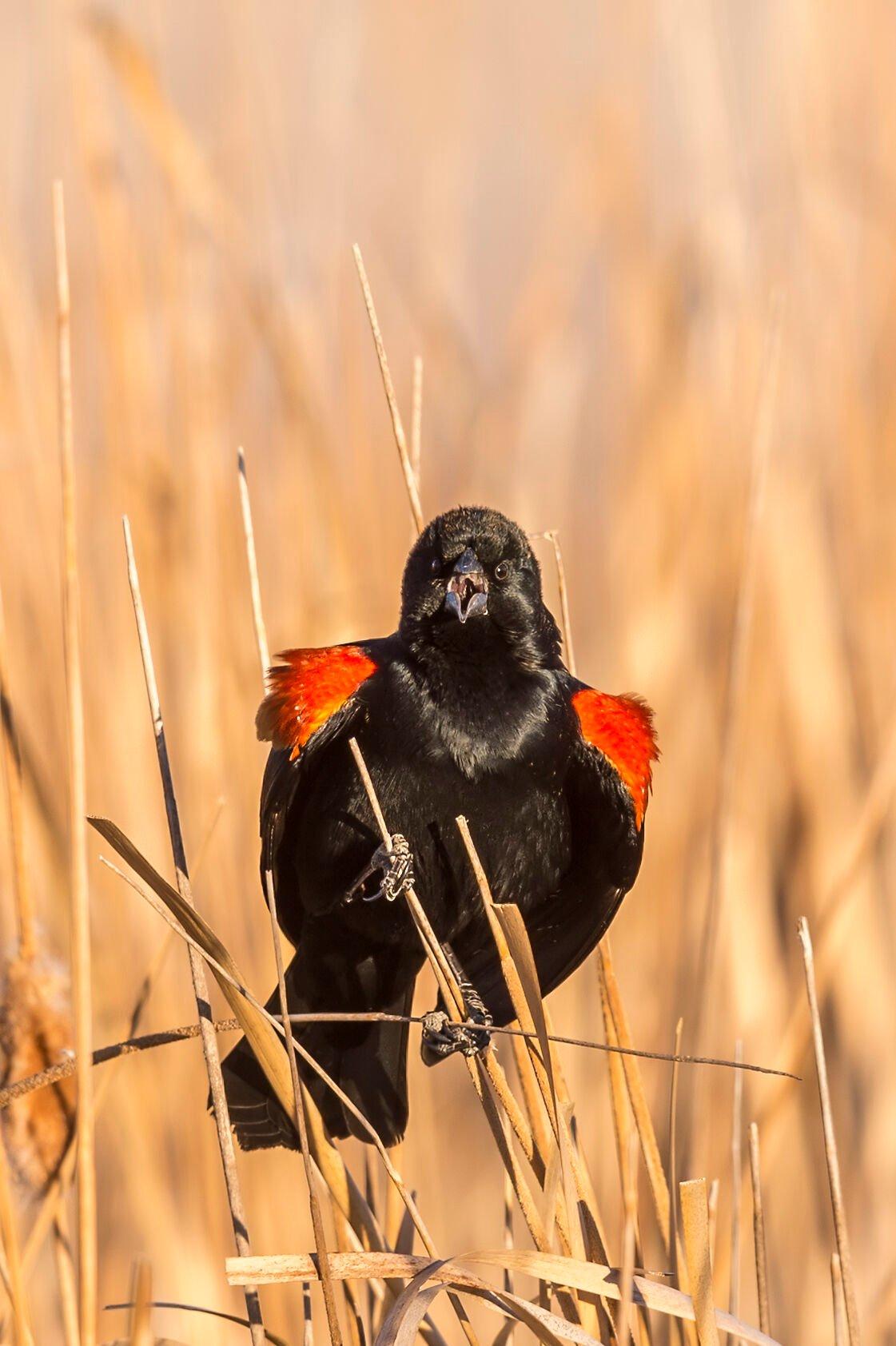 Red-winged_blackbird_singing_Equalizer_Lake_2018_1