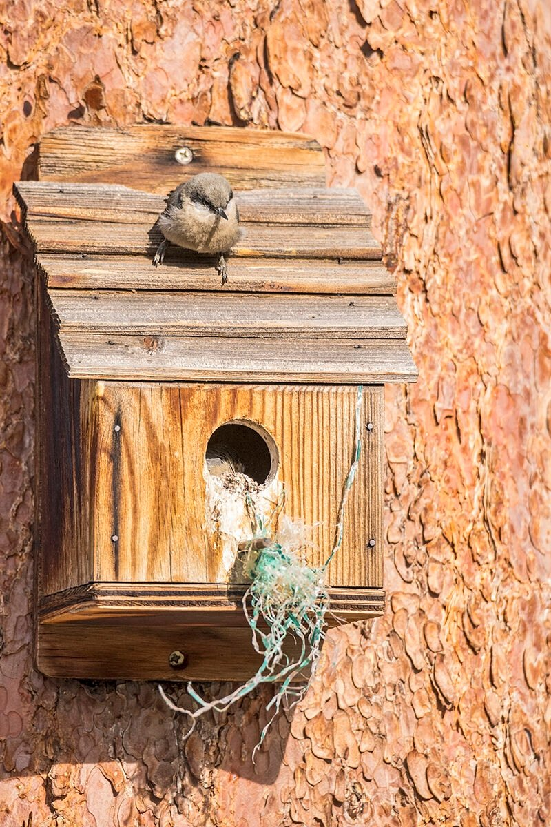 Pygmy_nuthatches_EP_2018_4