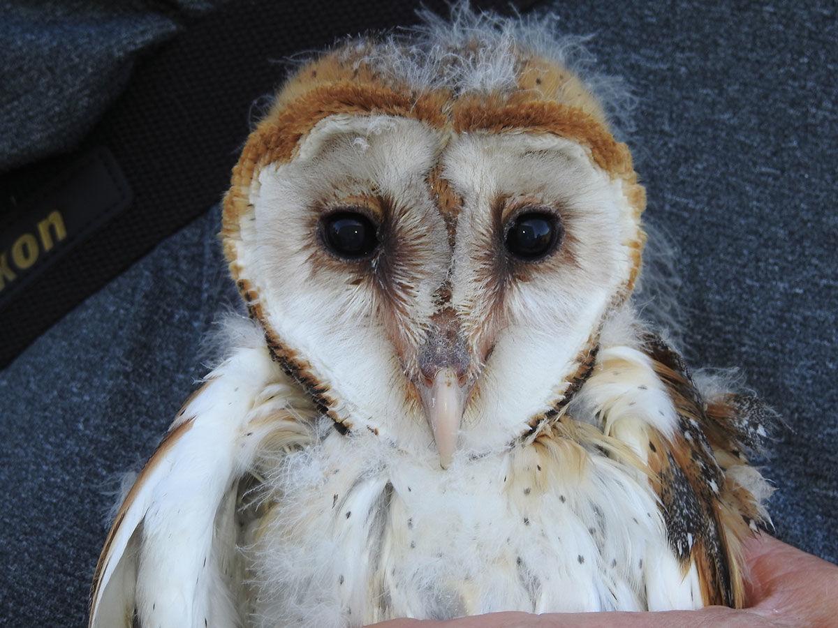 Scott Rashid To Present Barn Owl Program