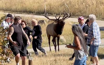 Watch Elk Rut From APlace Of Safety