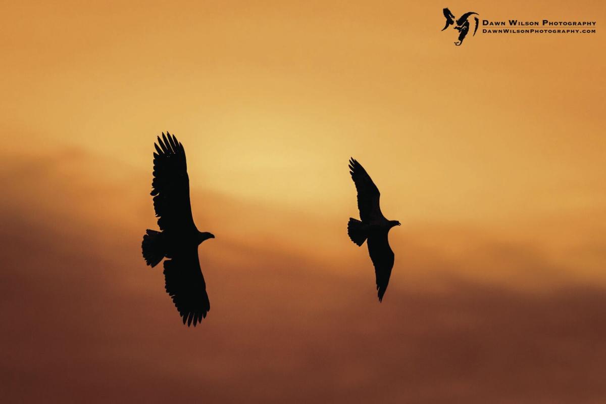 Bald Eagle and Osprey
