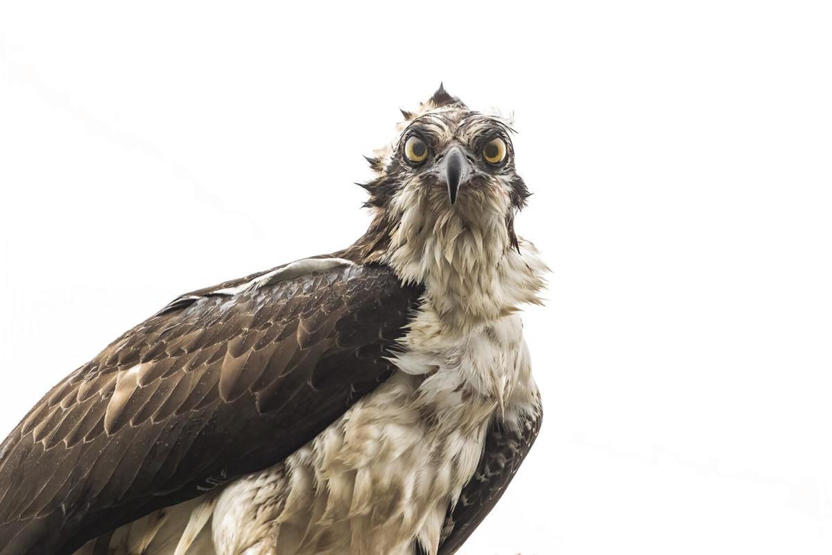 Osprey_Eden
