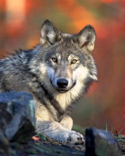 Gray Wolf Reintroduction