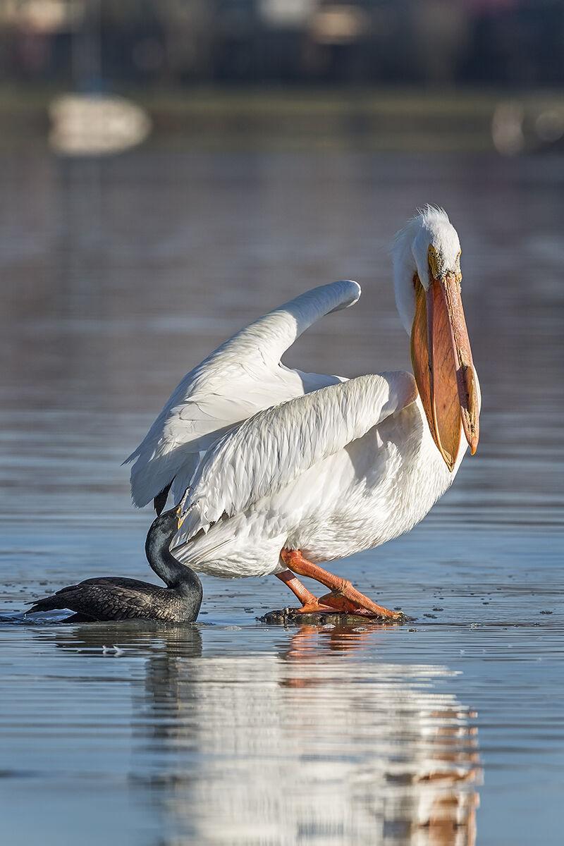 American_white_pelican_cormorant_Sloan_2018_2