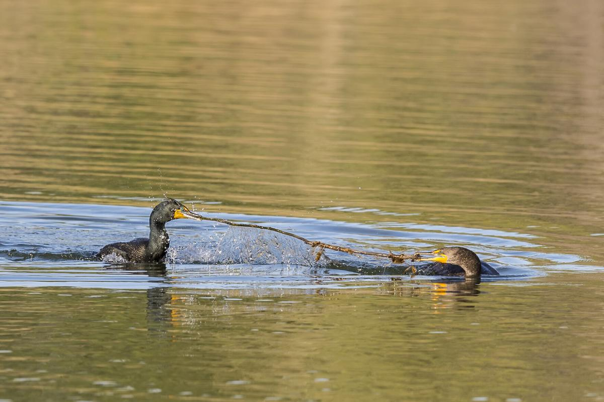Double-crested_cormorant_Belmar_2017_1