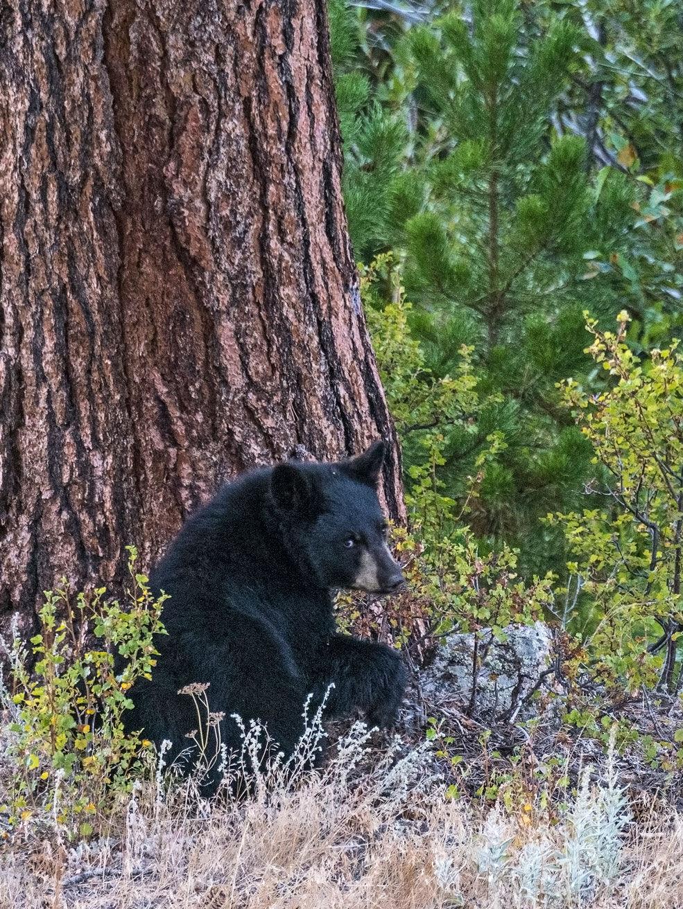 Black Bear in RMNP