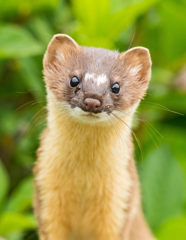 Standing Weasel