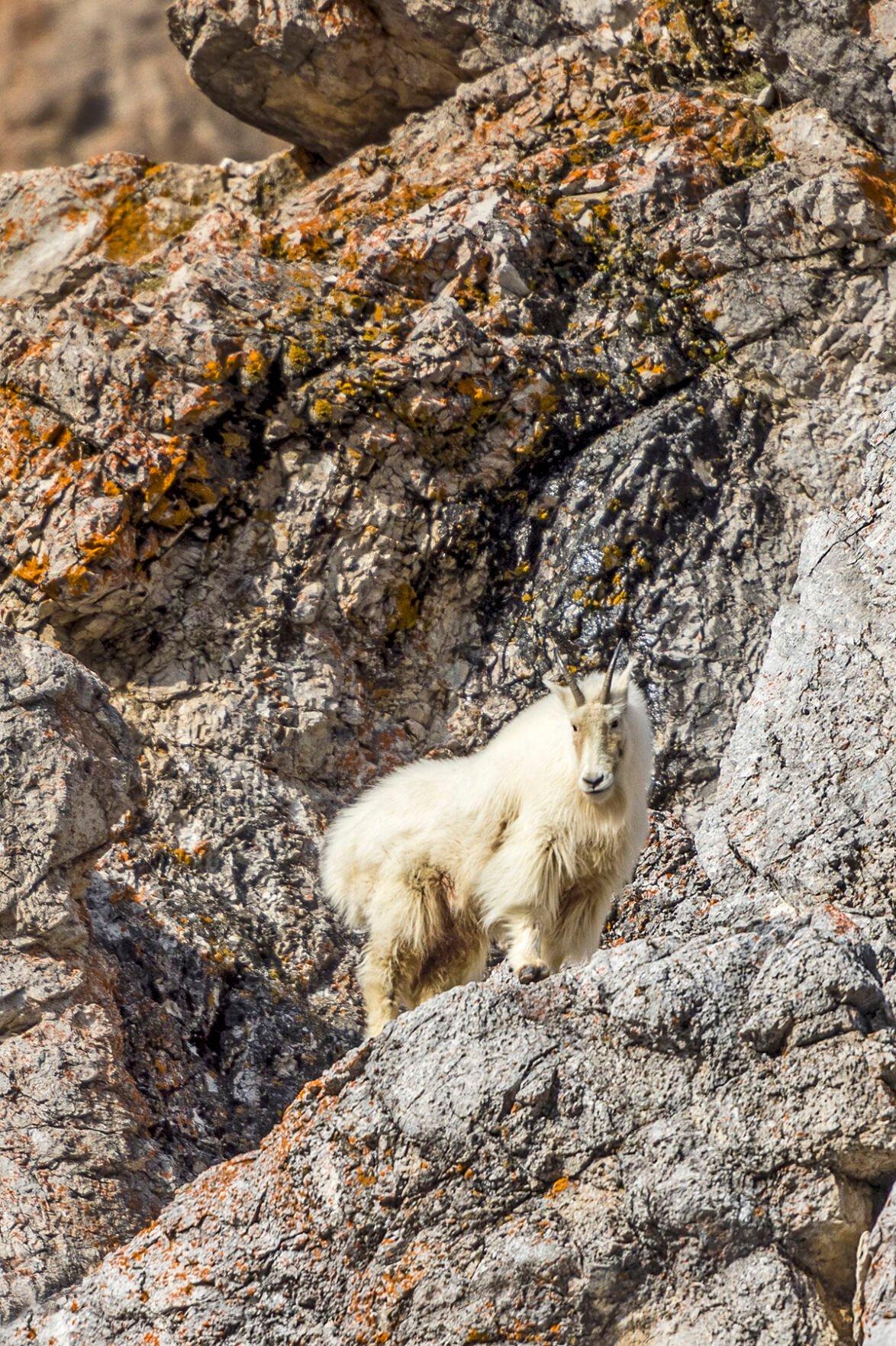 Mountain Goat_GTNP