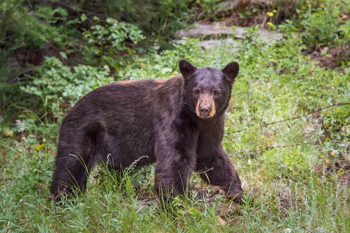 Black Bear In Estes Park