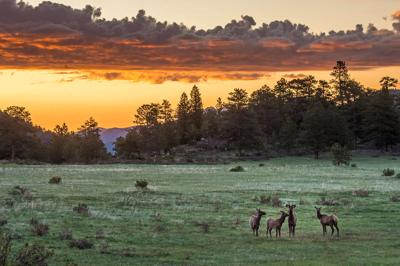 Elk at sunrise RMNP