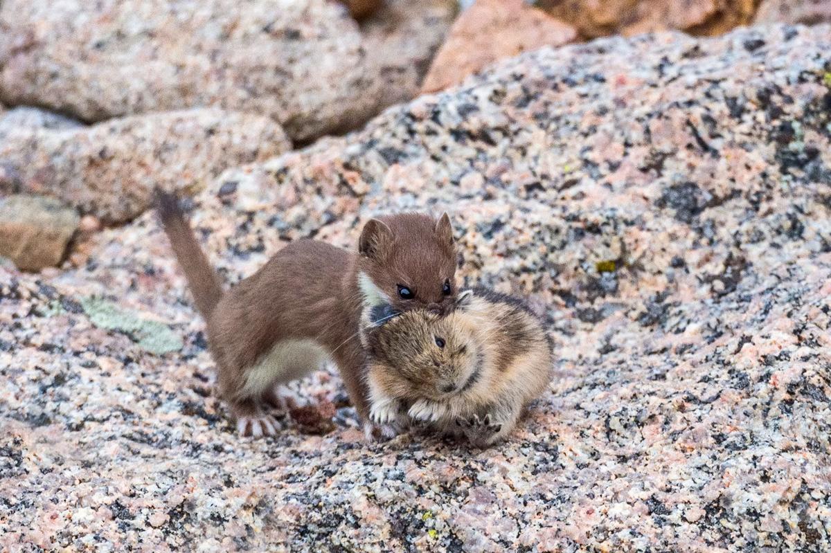 Short-tailed weasel on Mt Evans