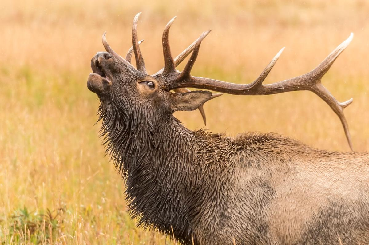 Five Fun Facts About…Bull Elk Antlers