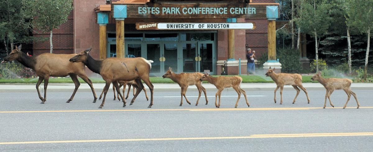 Elk Calves Crossing The Road