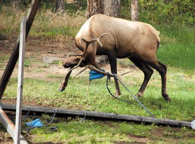 Elk Tangled in Swingset