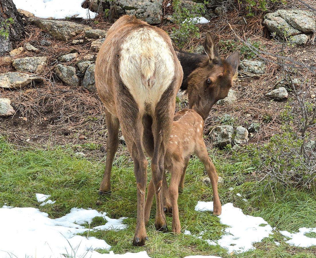Elk Calf and Mother