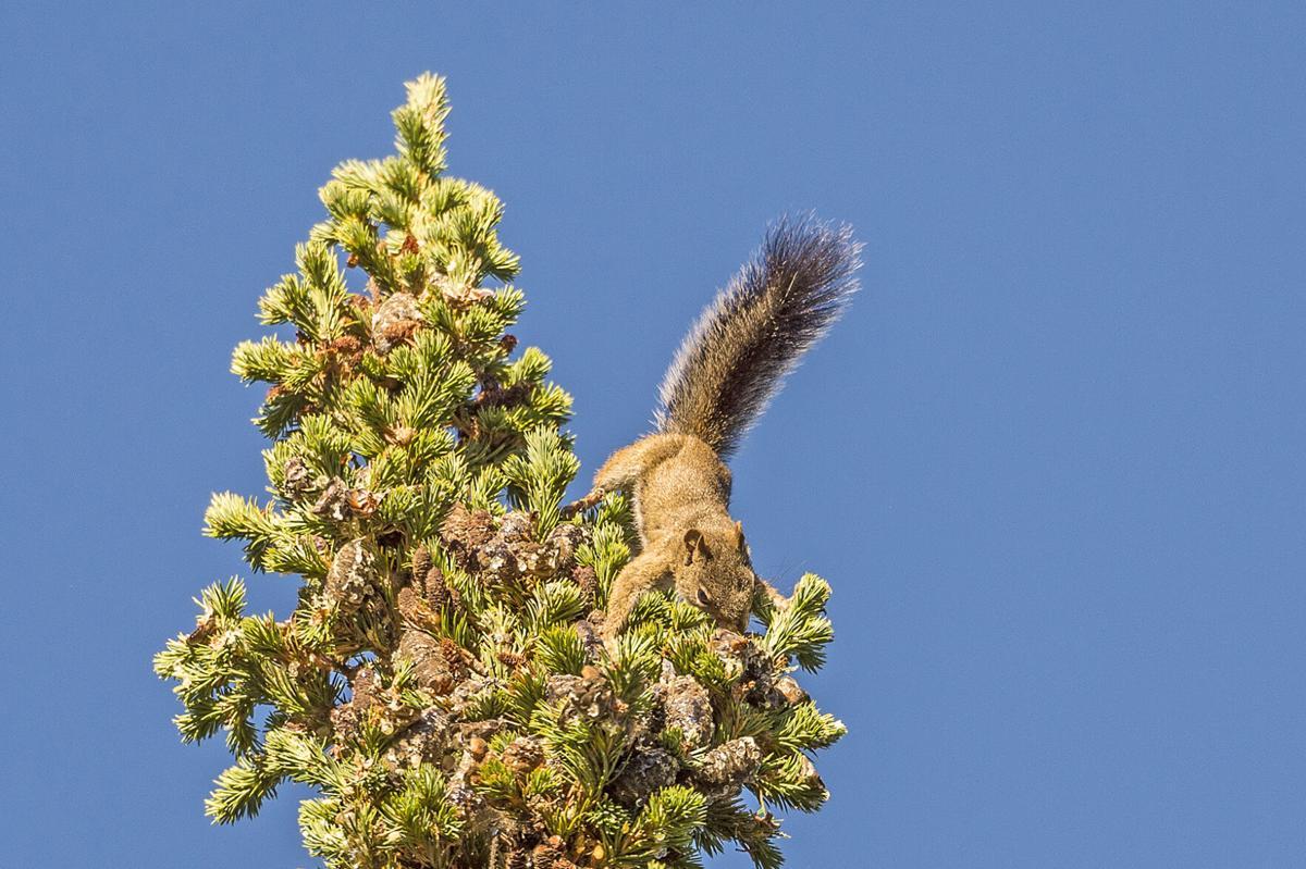 Pine squirrel RMNP