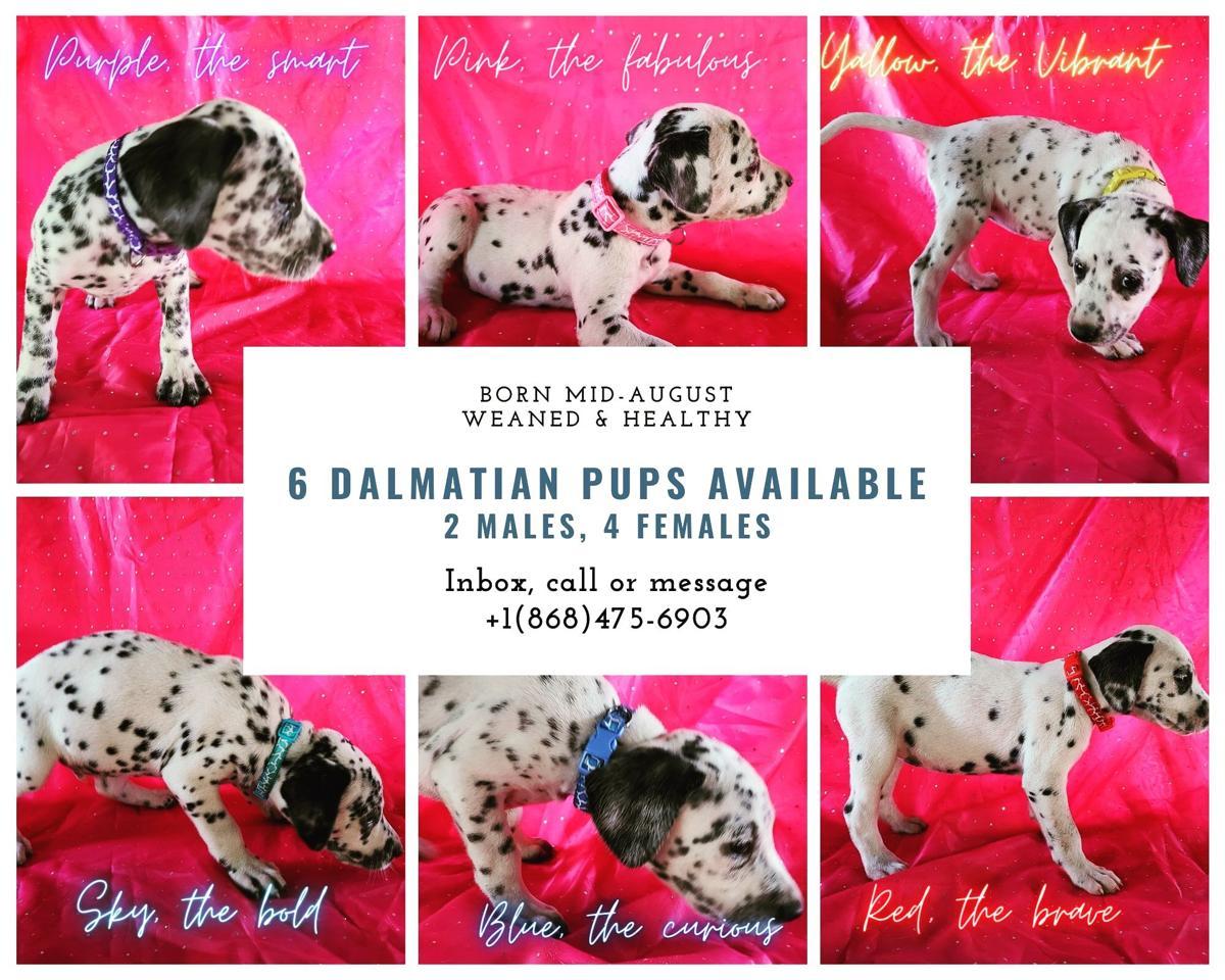 PURE BRED Dalmatian puppies for sale! Female $2,000. Male