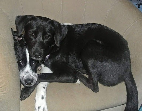 Lab Rescue - Diamond and Chayna1.jpg