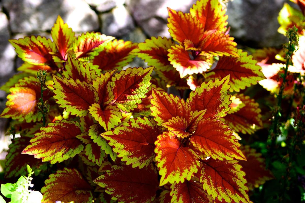 Colorful Coleus Not Just For Containers Or Shade Articles