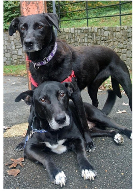 Lab Rescue - Chance and CT.jpg