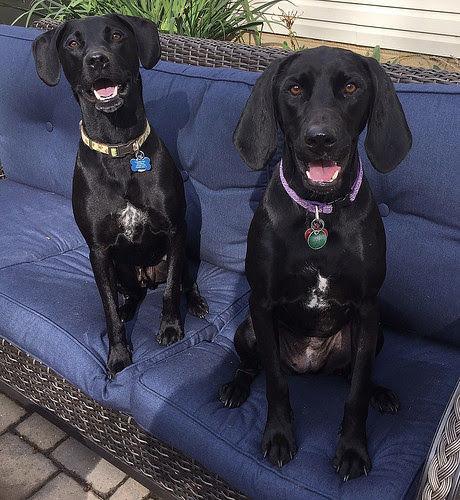 Lab Rescue - Otis and Ella1.jpg