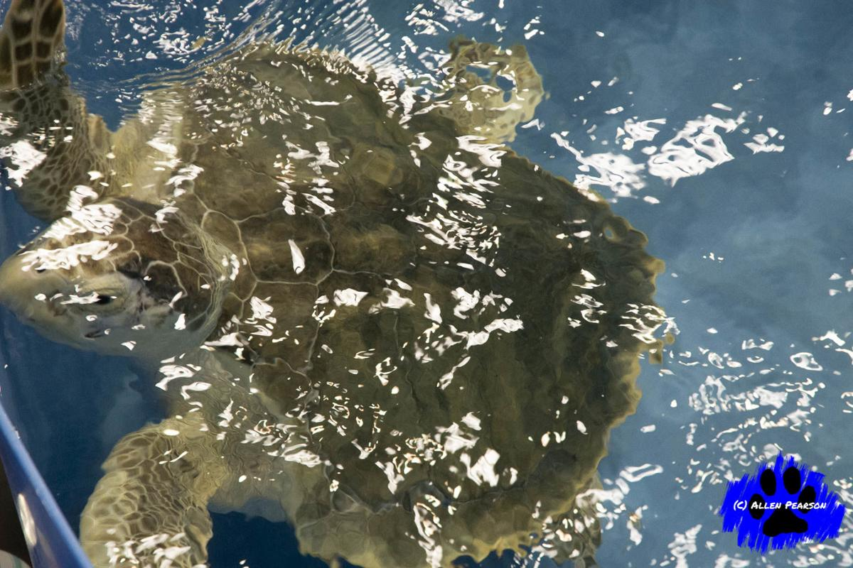Allen Pearson's Photos - Sea Turtle at Karen Beasley Sea Turtle Rescue and Rehab Ctr 1.JPG