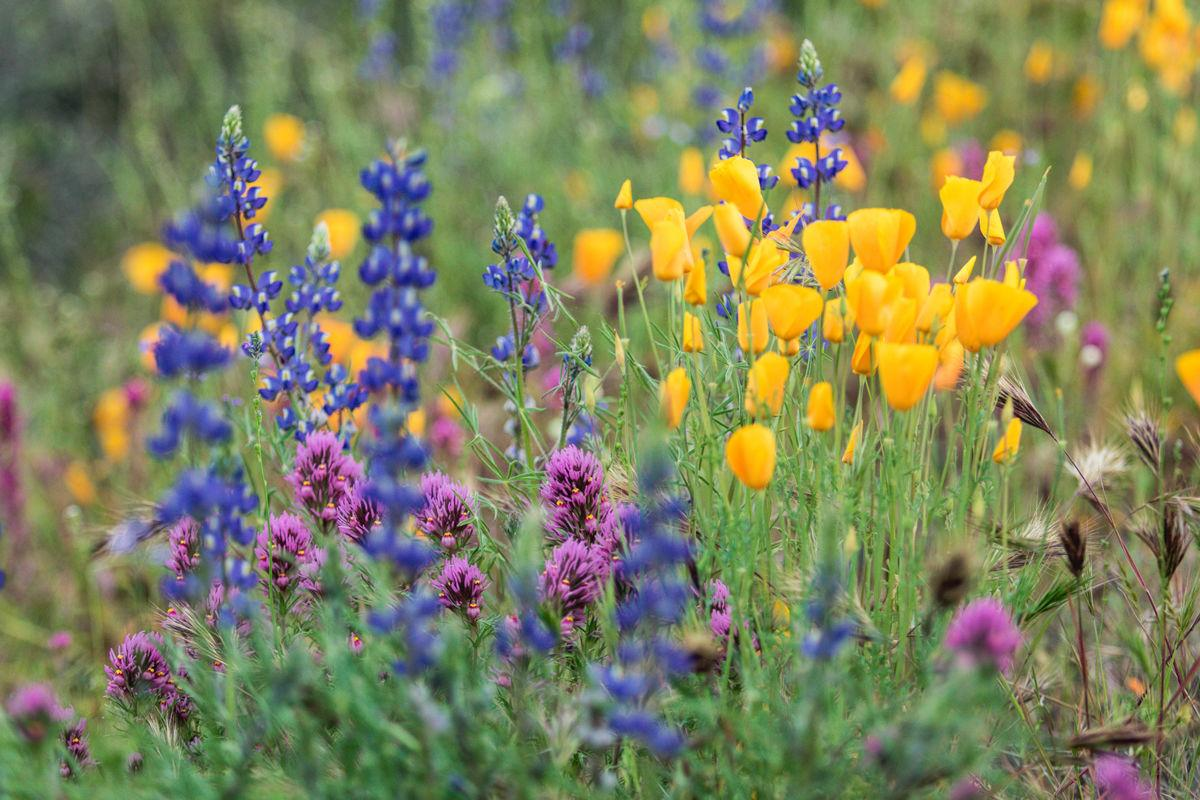 A bloom for the books: Rainfall, cool weather create spring wildflower spectacular