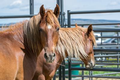 Wild horses at the recent wild horse and burro event at Deerwood Ranch in Wyoming. Photo by Nikki Maxwell, BLM.