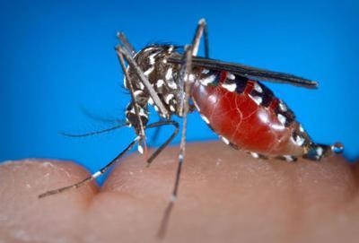 West Nile Virus, Mosquito