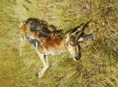 Wasted Antelope Found Near Augusta