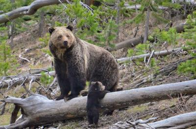 Grizzly Bear - FILE PHOTO