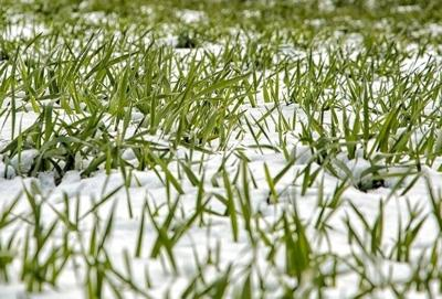 Big chill expected to have minimal impact on state's wheat crop